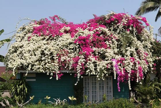 Bohatě kvetoucí Bougainvillea spectabilis v Thajsku.