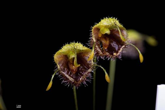 Diodonopsis erinacea - drobná orchidej rostoucí od Kostariky až po Ekvádor