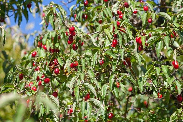 dřín obecný (Cornus mas) a dřínky, jeho zralé plody