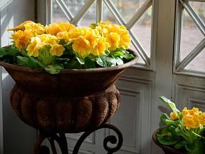 Zajímavě naaranžované primule zaujmou hned u vchodových dveří.