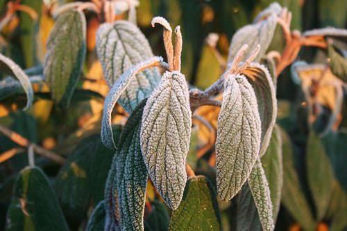 Kožovité listy kaliny vrásčitolité neopadávají ani v zimě. Pokryté jinovatkou jsou obzvlášť krásné