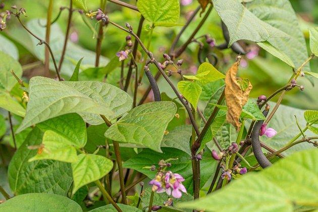 Fazol pěkně kvete a bohatě plodí