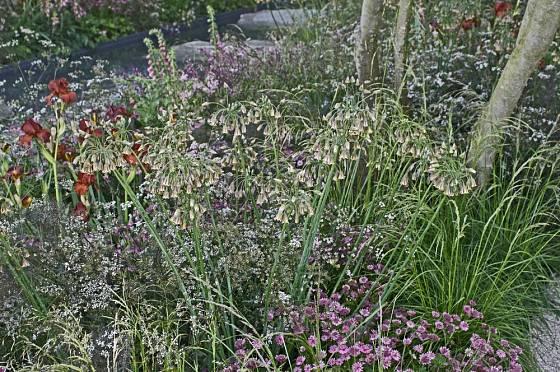 Nectaroscordum siculum ve smíšené výsadbě