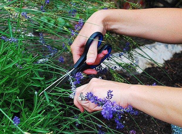 Na zahradě pro sklizeň postačí srp nebo nůžky