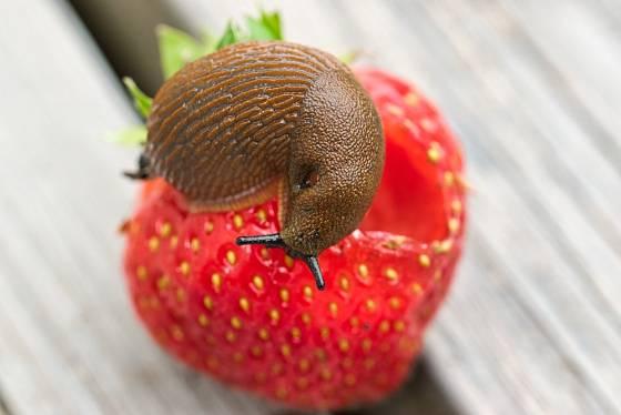 Plzáci nepohrdnou ani zralými jahodami.