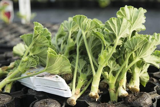 Pelargonie lze snadno množit řízkováním - zakoření v peletách i běžném substrátu