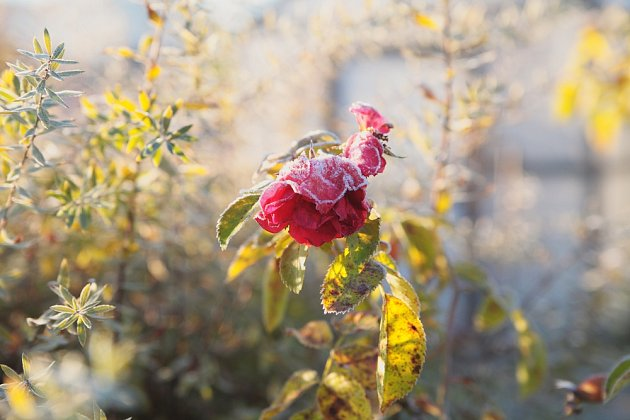 Listopadovou zahradu zdobí poslední květy růží.