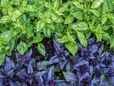 Bazalka je aromatickou královnou bylinek.