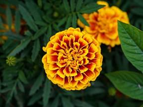 Afrikány, cínie, krásenky a další jsou odolné květiny, kterým se bude dařit i bez vaší zvláštní péče.