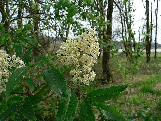 Pozor, takhle kvete bez červený -  a je jedovatý.