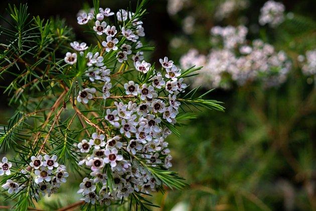 Opuč - Chamelaucium uncinatum – bilé