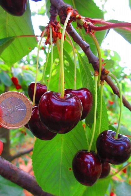 Středně raná odrůdy třešně Amid