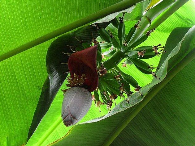 Banánovník v botanické zahradě Na Slupi