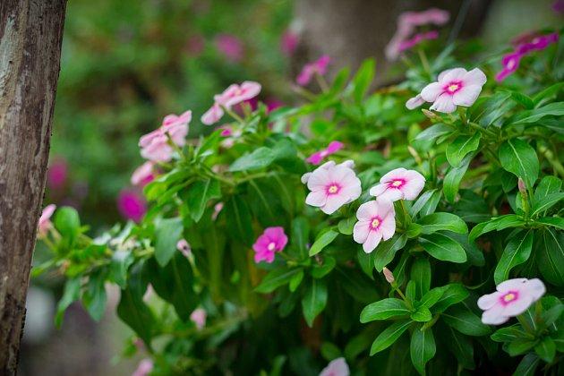 barvínkovec růžový (Catharanthus roseus)