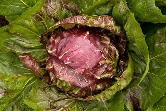 salátová čekanka radicchio  připravená ke sklizni