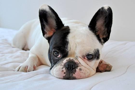 Francouzský buldoček do venkovní boudy pro psy rozhodně nepatří.