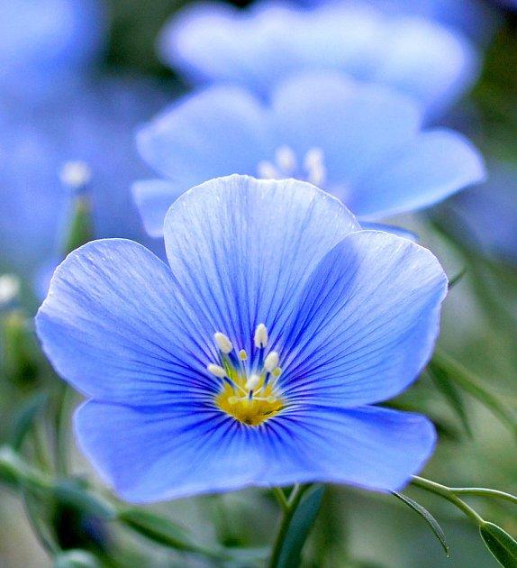 Květ lnu vytrvalého má nádhernou barvu