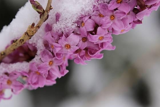Lýkovec jedovatý kvete na samém konci zimy.