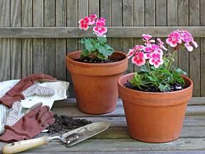 Muškáty patří k oblíbeným balkonovým rostlinám.