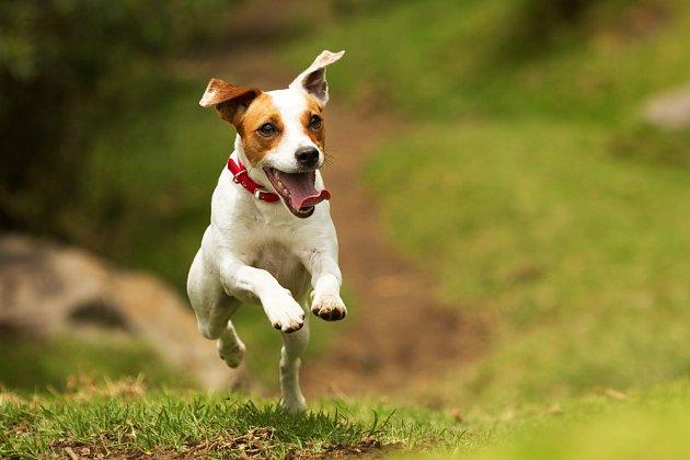 Plemeno jack russel teriér patří mezi jedny z nejrychlejších psů.