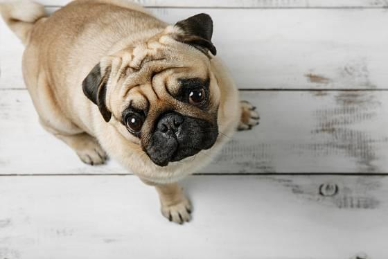 Mops je skvělý pes do bytu.