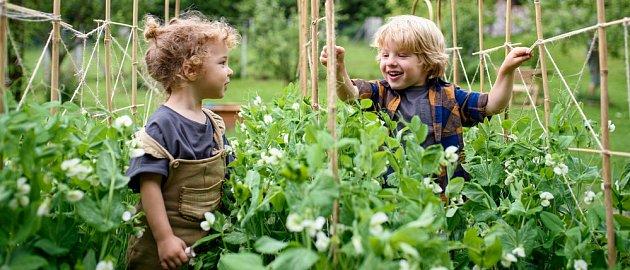 Hrášek jste už zkoušeli jistě pěstovat jako malé děti ve škole.