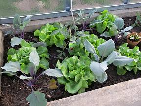 Kedlubnám se dobře daří v mezerách mezi saláty.