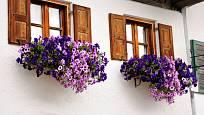 Do truhlíků a závěsů jsou vhodné také převislé velkokvěté kultivary letniček.
