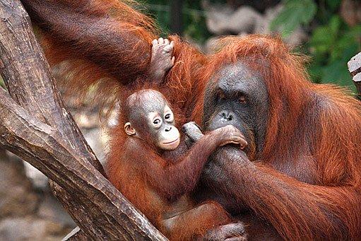 ničení deštných pralesů připravuje o domov například i orangutany