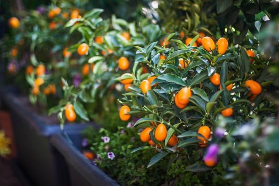 Citrusy na balkonech rostou, pozor na správnou aklimatizaci k letnění.
