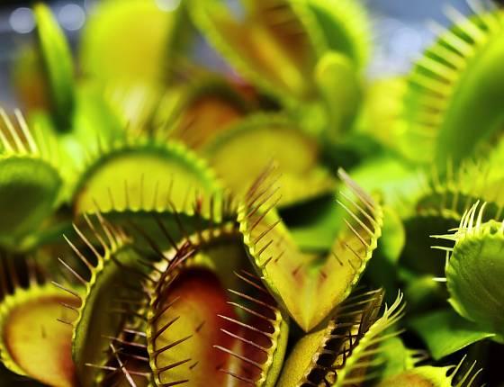 Pro děti jsou zvlášť zajímavé masožravé rostliny. Rády je samy krmí.