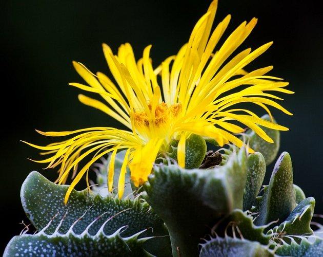 kvetoucí faukárie