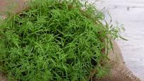 Mladé listy kopru snadno vypěstujeme v květináči či truhlíku