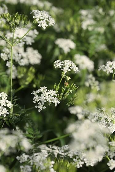 krabilice hlíznatá, květenství a mladá semena