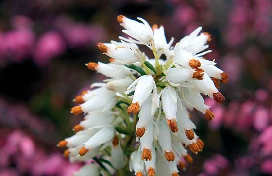 Detaily květů vřesovce (Erica)