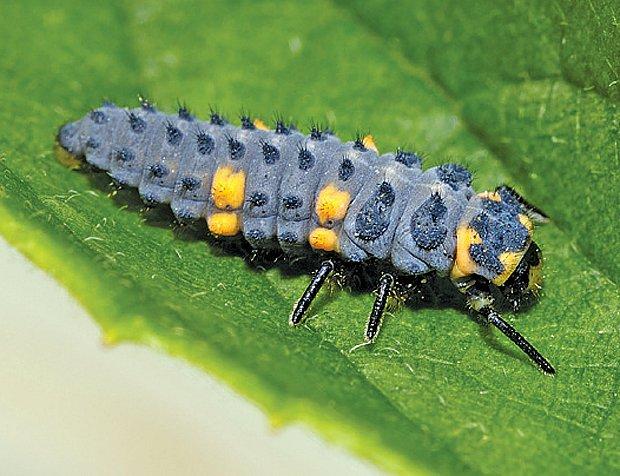 larva-sedmitecne