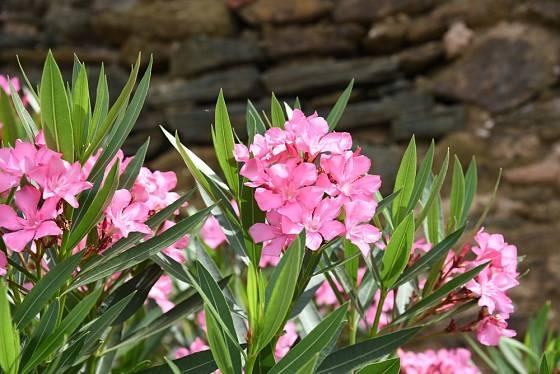 Oleandr obecný (Nerium oleander) je dekorativní keř až strom a jediný zástupce rodu oleandr (Nerium).