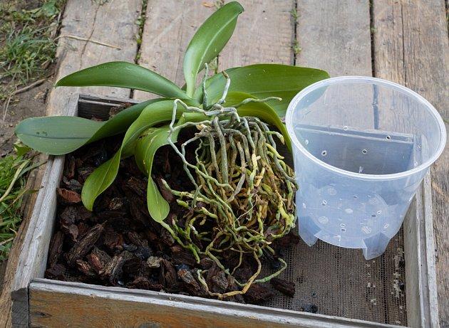 V průhledném květináči dobře uvidíme jak se orchideji daří.