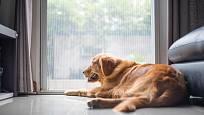 Dlouhé čekání na pána nezvládne každý pes v klidu