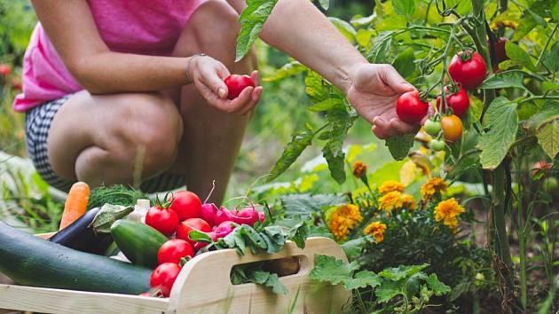 Mezi zeleninou mohou kvést letničky, nejlépe jedlé, jako jsou aksamitníky
