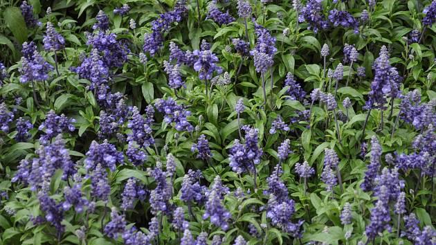 Šalvěj lékařeská (Salvia officinalis)