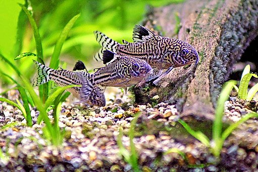 Pancéřníček leopardí (Corydoras Trinilleatus)