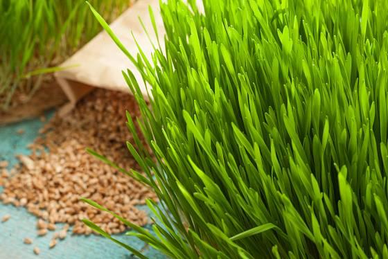 Osení pro zdraví můžete pěstovat po celý rok