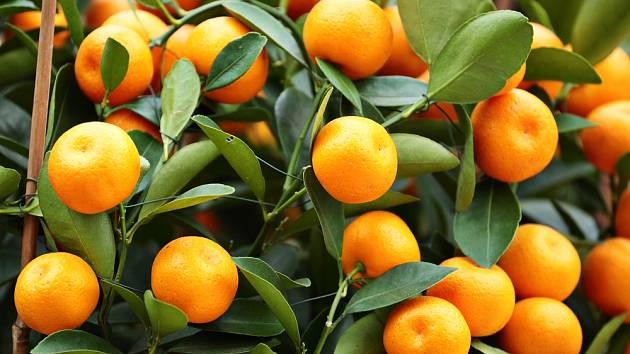 Citrusy krásně kvetou i plodí.