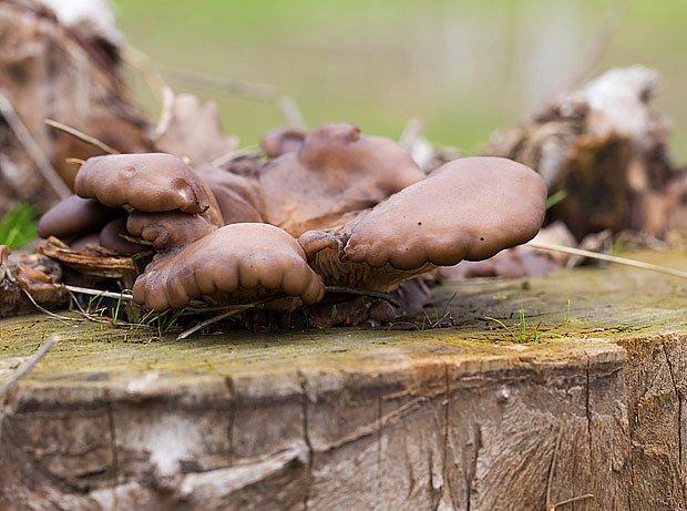 plodnice pěstované na špalku listnatého stromu