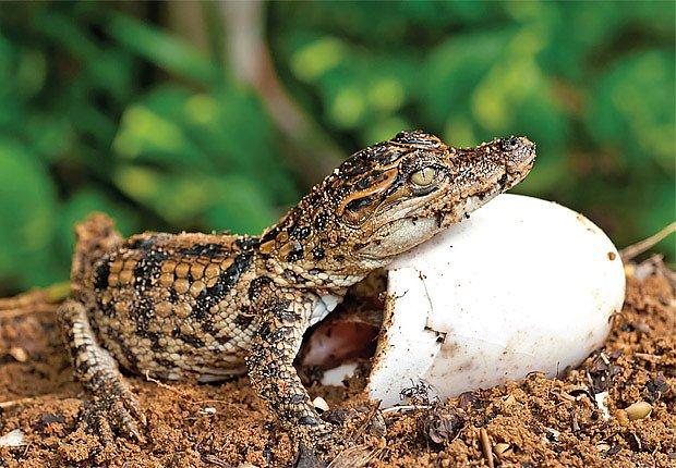 malý krokodýl
