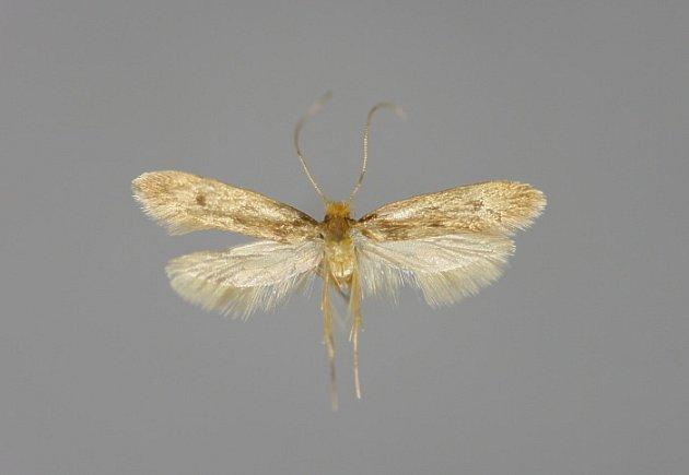 Tinea pellionella, mol kožešinový. Méně častý příbuzný mola šatního.