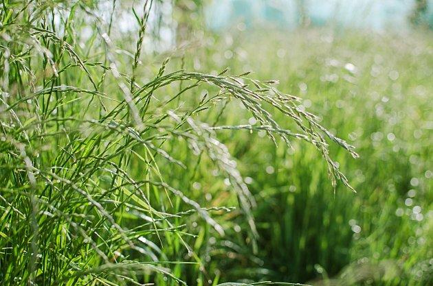 Pýr plazivý: plevel či léčivka?