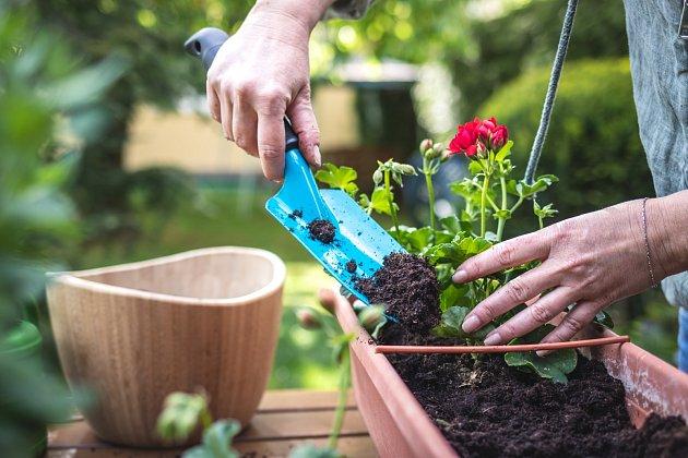 Nejlépe se muškátům daří ve směsi listovky, písku a zahradní zeminy.