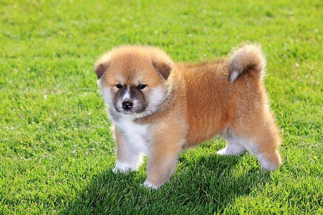 Akita Inu - štěně.